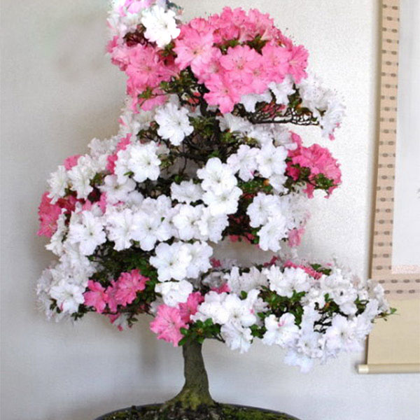 White and pink azalea rhododendron seeds perennial flowers seeds white and pink azalea rhododendron seeds perennial flowers seeds garden bonsai tree diy plant home garden50pcs in bonsai from home garden on mightylinksfo