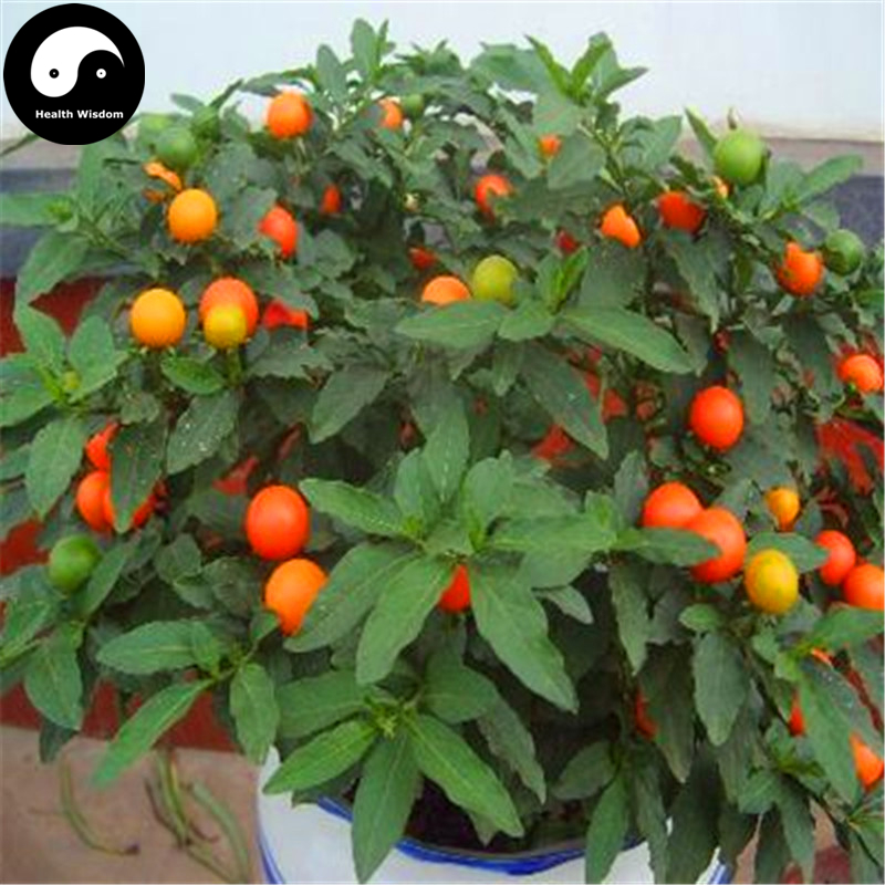 Buy Solanum Pseudocapsicum Tree Semente 240pcs Plant Ornamental Orange Fruit Bonsai