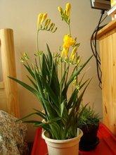 Всемирно известный семена цветов фрезия цветок Seedball корни ровная завод