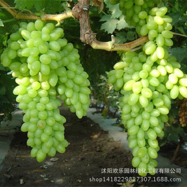 Wholesale Green Grape seed sweet and delicious fruit fruiting bonsai Villa grapes 20 Seeds/Pack