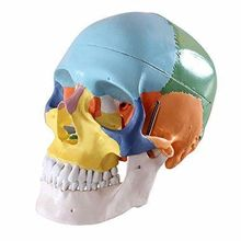 Dental Colored Anatomical Human Skull Model 3 parts Ceramic White Teaching Model