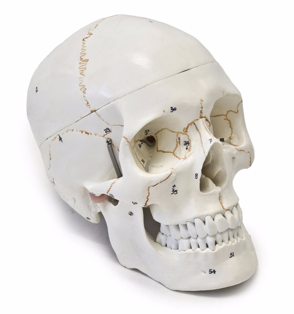Leben größe 3 parts nummeriert mit Nähte menschlichen anatomie ...