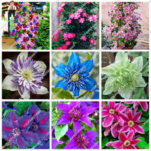 200pcs Rare Blue Climbing Clematis Rainbow Perennial Courtyard Bonsai Flower plants For Home Garden