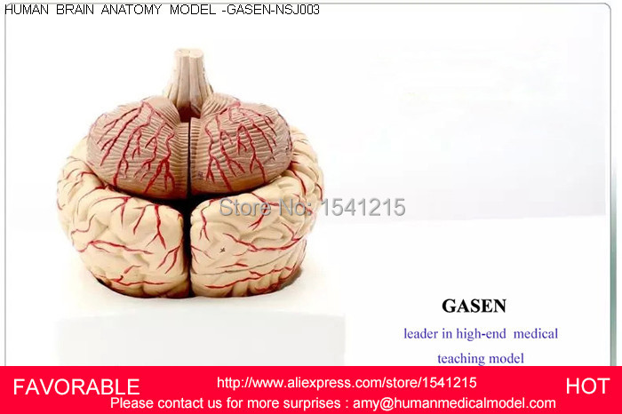 MEDICAL MODEL OF THE HUMAN BRAIN OF THE BRAIN ANATOMICAL MODEL OF BRAIN VENTRICLES BRAIN AND NERVOUS MODEL GASEN-NSJ003 купить недорого в Москве