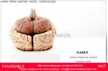 MEDICAL MODEL OF THE HUMAN BRAIN OF THE BRAIN ANATOMICAL MODEL OF BRAIN VENTRICLES BRAIN AND NERVOUS MODEL GASEN-NSJ003