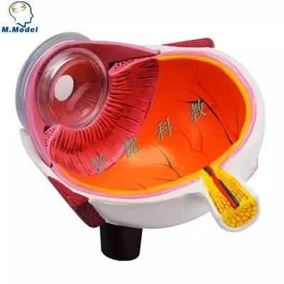 China eye anatomy model Suppliers