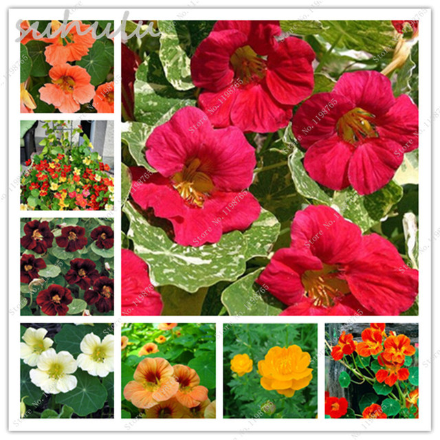 New fresh seeds 100 pcs pretty rare hanging nasturtium seeds new fresh seeds 100 pcs pretty rare hanging nasturtium seeds beautiful garden plant flowers hanging flower mightylinksfo Image collections