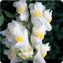 30+seeds/pack ANTIRRHINUM LEMON SHERBERT SNAPDRAGON FLOWER SEEDS / LONG LASTING ANNUAL