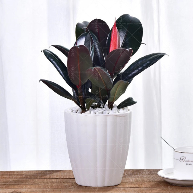 100 Pcs Indian Rubber Tree Bonsai Black King Kong Plants Purify Air In Addition