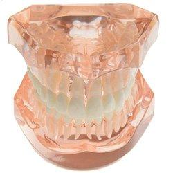 Dental removable teeth model adult typodont model for dentist color orange .jpg 250x250