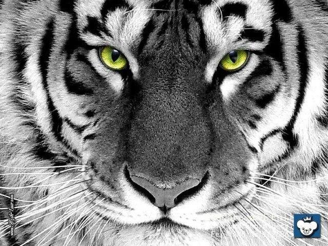 Animal White Tiger Diamond Painting Rhinestones Home Decor 100 Square Drill Full Embroidery Set
