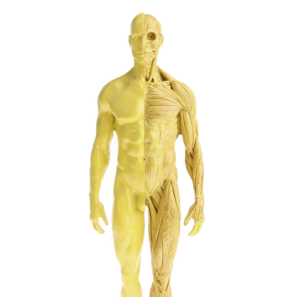 11 inch Male / Female Anatomy Figure Model Anatomical Reference for ...