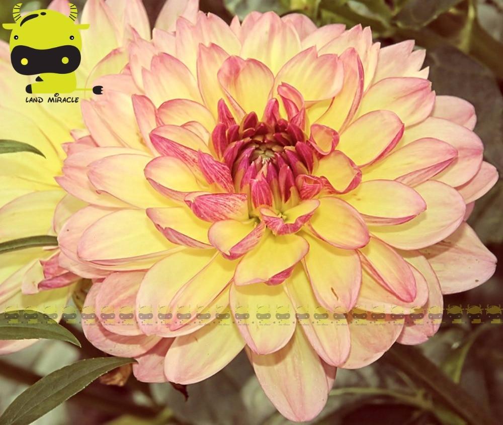20 Pcs Perennial Flowers Garden Yellow Dahlias With Pink Edge Flower