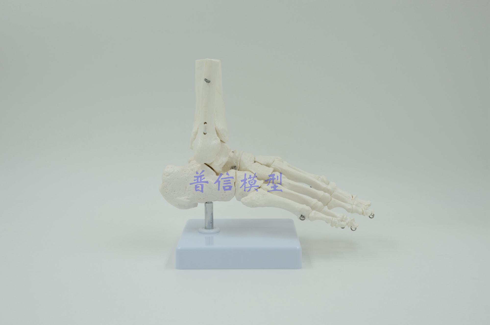 Pie humano hueso, planta del pie, articulaciones de pie tobillo ...