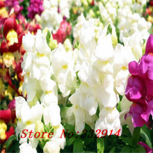 "100 SEEDS ANNUAL FLOWER GARDEN SEEDS flower seeds SNAPDRAGONS ""APPLEBLOSSOM"" CUT FLOWERS BONSAI PLANT DIY HOME GARDEN FREE SHIPP"
