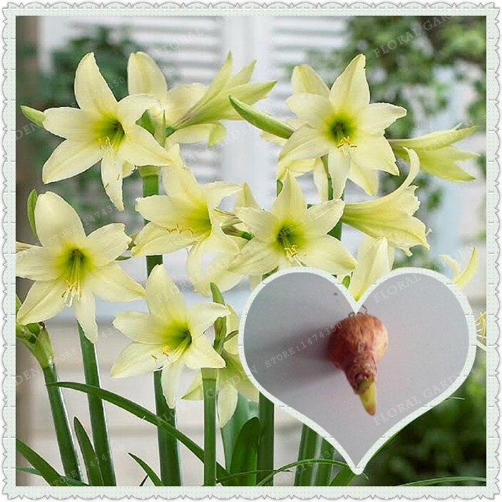 True Light Green Hippeastrum Rutilum Bulbs,(Not Hippeastrum Rutilum Seeds),Amaryllis Flowers Symbolizes Love,Flower Plant-2 Bulb