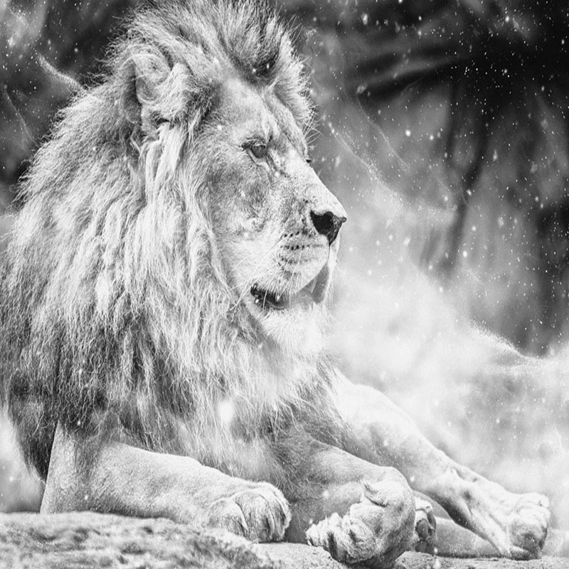 Custom Any Size Mural Wallpaper 3d Black And White Lion Wall