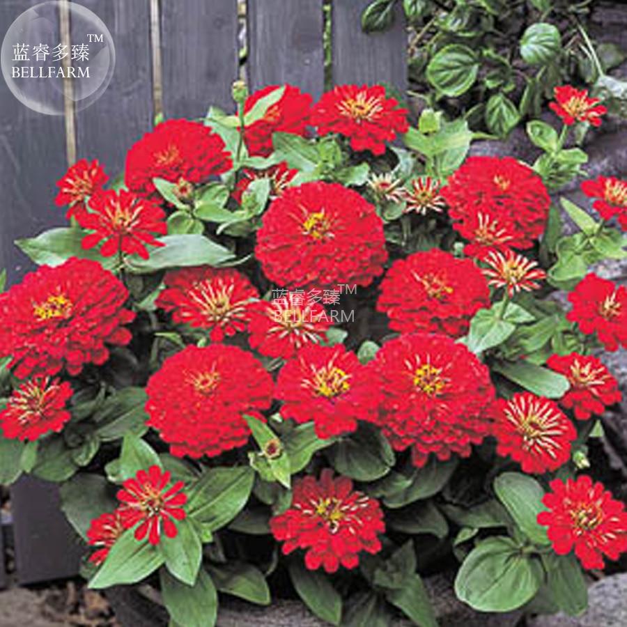 Bellfarm Bonsai Zinnia Dreamland Red Fully Double Flower Dwarf