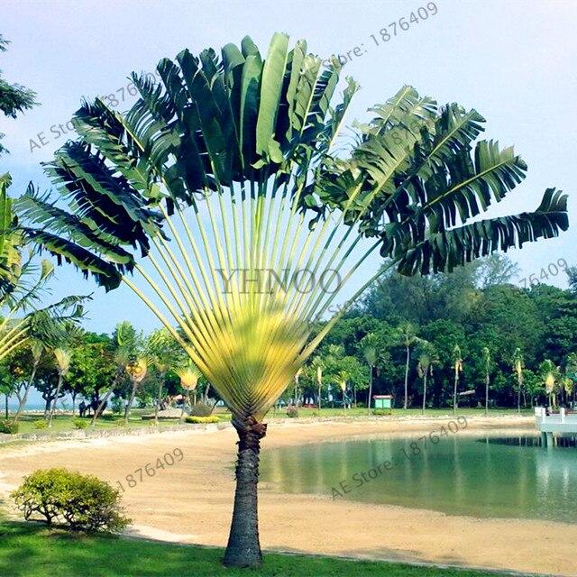 100pcs/bag Ravenala Madagascariensis Travelers Palm Seeds DIY Home Garden  Decoration Plants Tree Seeds,
