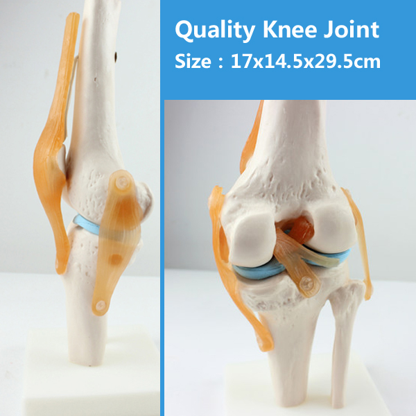 12351 CMAM-JOINT05 Life-Size Human Knee Joint Skeleton Study Model,  Medical Science Educational Teaching Anatomical Models 1 2 life size knee joint anatomical model skeleton human medical anatomy for medical science teaching
