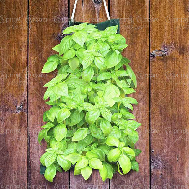 Italian Basil Seeds Aromatic Plant Decoration Free Shipping