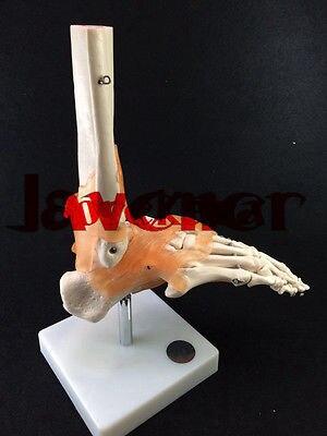1:1 Human Anatomical Podarthrum Foot Joints Ligament Skeleton Medical Model