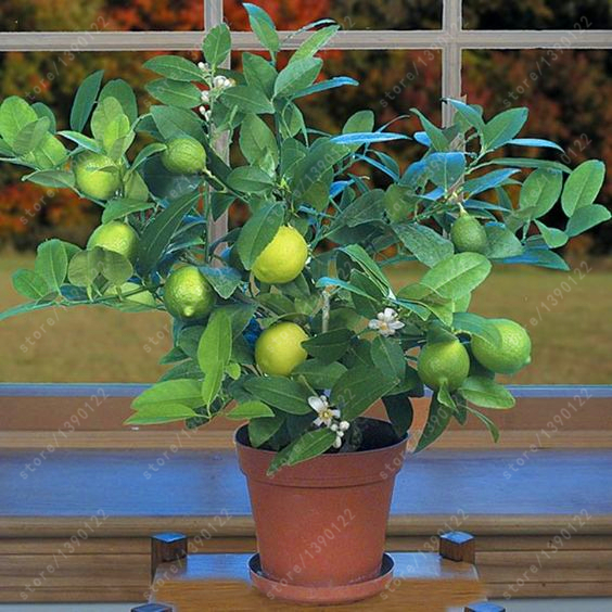 20 pcs bag green lemon tree lenovo lemon organic fruit for Growing a lemon tree in a pot from seed