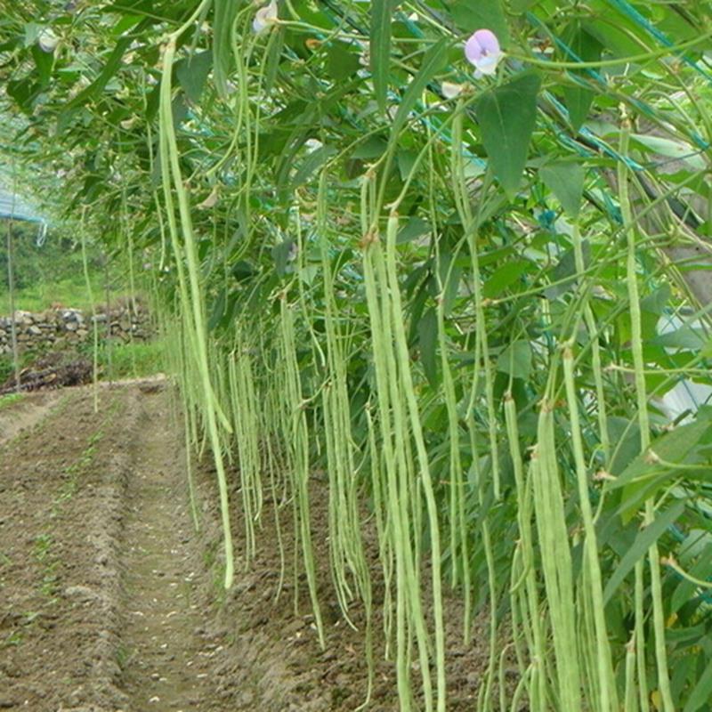 Popular Growing Green Beans Buy Cheap Growing Green Beans