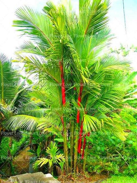 10 PCS Son Môi Cọ Bonsai Cyrtostachys Renda Cây, màu đỏ Niêm Phong Sáp Cọ Bonsai Trang Trí Cây trồng trong chậu Cho cây Vườn Nhà
