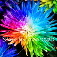 On Sale !!!100pcs/bag Rainbow Daisy Seeds,Chrysanthemum Seeds Bonsai flower seeds,Beautiful potted Flower plants for home garden