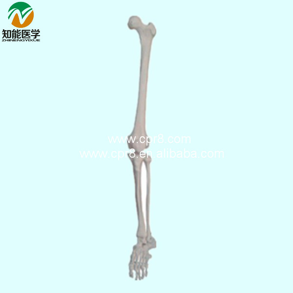 Life-Size Lower Limb ( Left\ Right Arm) Skeleton Model BIX-A1030 WBW305 plastic standing human skeleton life size for horror hunted house halloween decoration