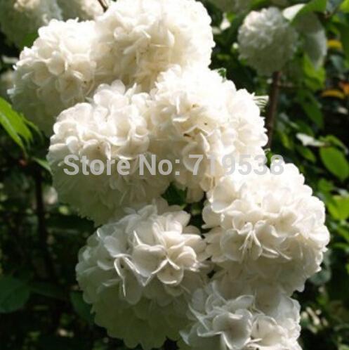 commentaires blanc hortensia fleurs – faire des achats en ligne