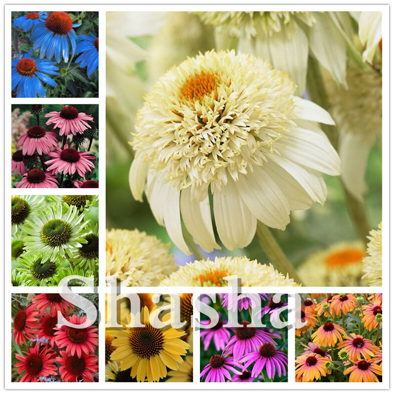 100Pcs Rare Colour Echinacea Purpurea Bonsai , Mix Echinacea Outdoor Flower Ratibida Coneflower Showy Much Long-bloom Coneflower