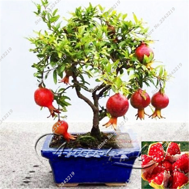 online buy wholesale sweet pomegranate tree from china sweet, Natural flower