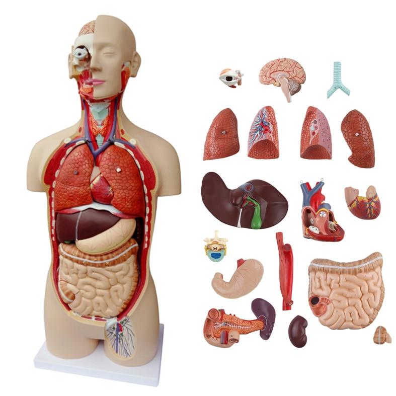 top quality 85cm human Anatomical model organ trunk system ...