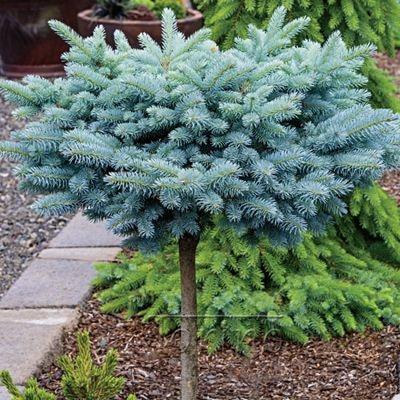Bonsai Colorado Blue Spruce Picea Pungens Tree Seeds elegant