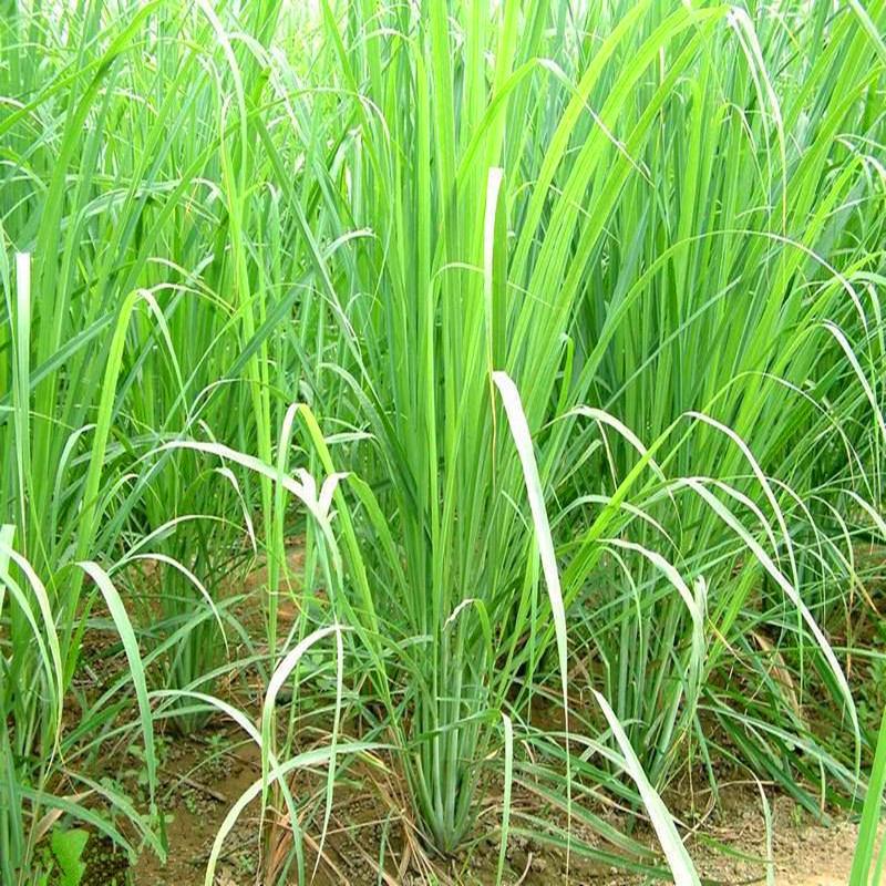 100pcs-LemonGrass-Seeds-Cymbopogon-Seed-Herbs-Vegetable-bonsai-plant-DIY-home-garden (4)