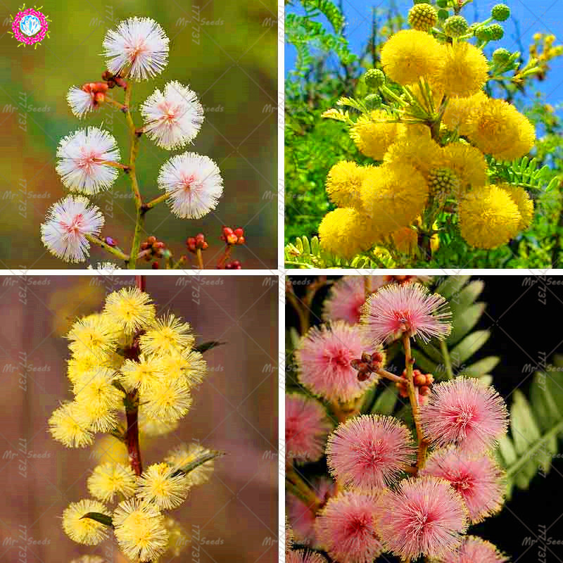 50pcs Rare Color Golden Mimosa Plant Beautiful Acacia Baileyana