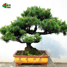10 pcs/bag rare pine seeds, Potted Pine Seeds, bonsai tree seeds for miniature garden plant potted plant 10pcs bag bauhinia flower seeds bauhinia tree butterfly tree rare orchid flower tree seeds fresh bauhinia purpurea seeds