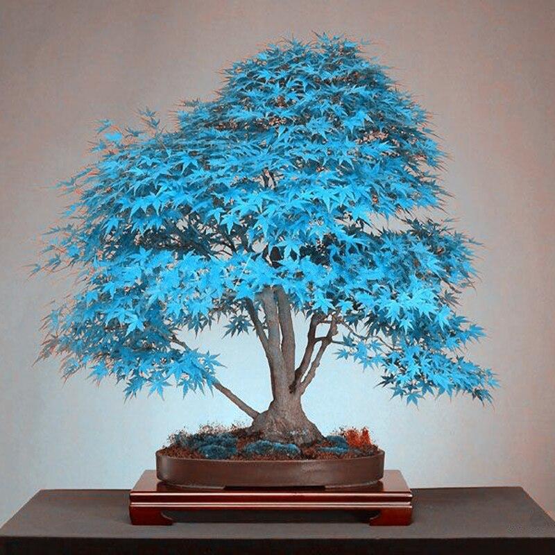20 шт. синий кленовый дерево бонсай редко желтый красный ЯПОНСКИЙ клен балкон растения для дома сад цветочные