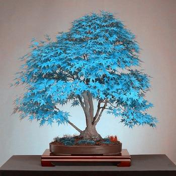 20 Pcs Blue Maple Tree Bonsai Tree Rare Yellow Red Japanese Maple Balcony Plants For Home Garden Flower
