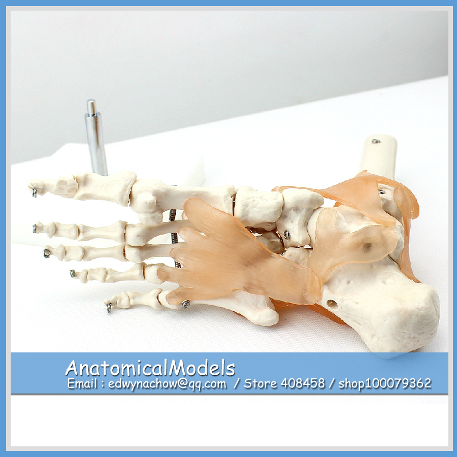 ED JOINT02 Life Size Human Foot Ankle Skeleton with Ligamen Model Medical font b Science b