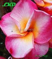 Plumeria Rubra Plants Rooted 7 15 Inch Frangipani Flower Daisy Bonsai Tree Plumeria Plants No199 Pink