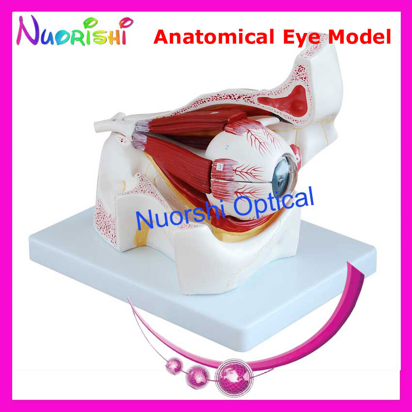 E4605 Magnification 3X Anatomical Human Eye Eyeball Model Eyeball Eye Lowest Shipping Costs