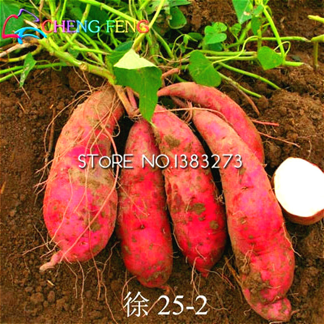 Free shipping 20pcs bag giant sweet potato seeds vegetables seed happy farm flowering plants - Acheter plant de patate douce ...