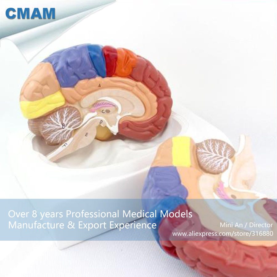 CMAM-BRAIN11 Life Size Colored Regional Brain Model - 2 parts w/ Base, Medical Science Educational Teaching Anatomical Models 100% new and original fotek photoelectric switch a3g 2mr free power photo sensor