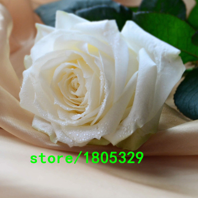 A Common Garden of White Roses 100 Seeds Fragrant Flowers and