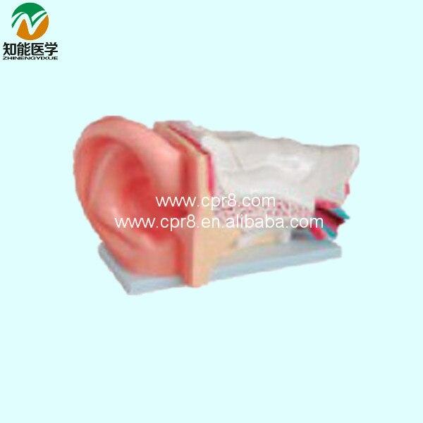 Big Ear Anatomy Model BIX-A1050 WBW237 gastric anatomy model chinon bix a1045 wbw266