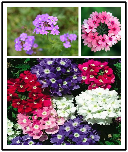 Garden Flower Seedsplants True Mixed Color,Verbena Hybrida Bonsai Flower For Home Garden Plants 100% Real Factory Package