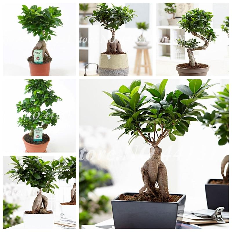 50 Pcs/ Bag Ficus Lyrata Bonsai Tree, Potted Balcony Banyan Tree Leaf Bonsai Garden Novel Plants, Anti-Radiation, Purify The Air
